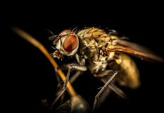 Macro Photography Of Housefly Royalty Free Stock Photography