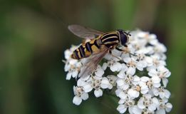 Macro Photography of Hoverfly on Flowers Royalty Free Stock Image