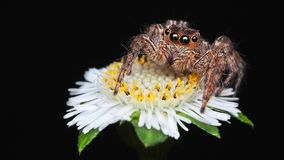 Macro photography of isolated brown jumping spider on little white flower black background stock photo
