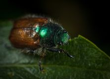Macro Photography of Japanese Beetle Perched on Green Leaf Royalty Free Stock Photography
