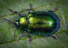 Macro Photography of Jewel Beetle on Green Leaf stock photography