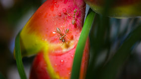 Macro photography of Large orange ants fighting on a red tropical wet flower after the rain. Macro Photography of Giant orange ants fighting on a red tropical Royalty Free Stock Images