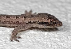 Macro Photo of Mediterranean House Gecko on White Floor royalty free stock photography