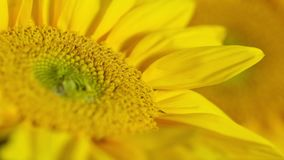 Blooming Sunflower Closeup Time Lapse stock footage