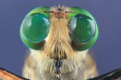 Robber flies asilisade asilus crabroniformis stock photography