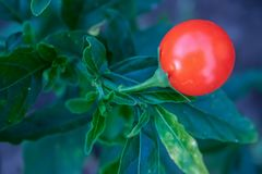 Macro photography of a nightshade plant fruit royalty free stock images
