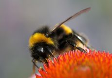 Macro Photography Of A Bumblebee Collecting Nectar On A Beautiful Red Flower Stock Image