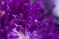 Free Macro Photography Of Purple Aster Flower Petals Stock Photo - 196622870