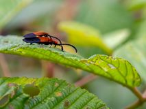 Two  net-winged beetles on a leaf royalty free stock photos