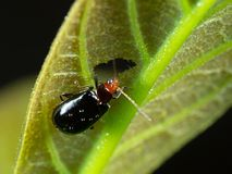 Macro Photo of Orange and Black Beetle Eating a Leaf. Macro Photography of Orange and Black Beetle Eating a Leaf Royalty Free Stock Image