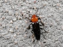Macro Photo of Orange and Black Beetle on The Wall. Macro Photography of Orange and Black Beetle on The Wall Stock Images