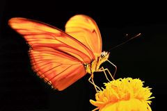Macro photography of orange butterfly yellow flower black background. Animal, insect, closeup, wild royalty free stock photos