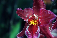 The Orchid Royalty Free Stock Images