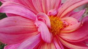 Macro Photography of Pink Dahlia Flower Royalty Free Stock Image