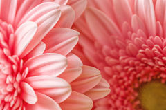 Macro photography of pink daisy or gerbera, floral background with petals Royalty Free Stock Image