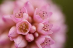 Macro photography pink flower royalty free stock image
