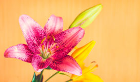 Macro photography of pink lily flower on orange background. Selective focus, toned Royalty Free Stock Photo