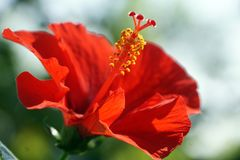 The pistil and petal of red hibiscus. The macro Photography of pistil and petal of red hibiscus royalty free stock image
