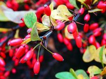 Macro photography of red autumn berries Stock Image