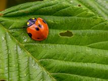 Macro photography of a red and black ladybug stock images