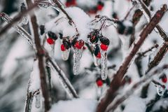 Macro Photography Of Red Cherries Stock Image