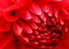 Macro Photography of Red Dahlia Flower Stock Images