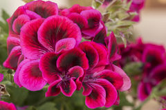 Macro photography of a red geranium Royalty Free Stock Photography