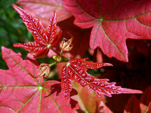Macro photography of red maple leaves Stock Photography