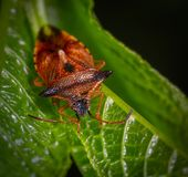 Macro Photography of Red Stink Bug Perched on Green Leaf royalty free stock photos