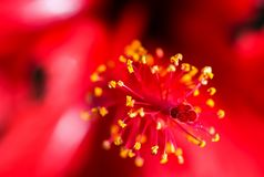 Macro photography of a hibiscus flower stock images