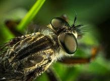 Macro Photography of Robber Fly Stock Images