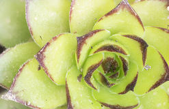 Macro photography of the Sempervivum tectorum. Stock Photography