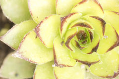 Macro photography of the Sempervivum tectorum. Stock Photos