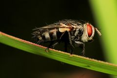 Macro photography showing a flesh fly. Macro photography showing a close up view of beauty flora and fauna Stock Photos