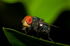 Macro photography showing a flesh fly. Macro photography showing a close up view of beauty flora and fauna Stock Photo