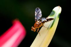 Macro photography showing a fruit fly. Macro photography showing a close up view of beauty flora and fauna Royalty Free Stock Image