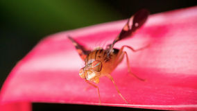 Macro photography showing a fruit fly. Macro photography showing a close up view of beauty flora and fauna Stock Photo