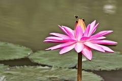 Macro photography showing a lotus flower. Macro photography showing a close up view of beauty flora and fauna Stock Photos
