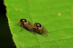 Macro photography showing a mating fly Stock Photo