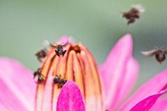 Macro photography showing a Pink Lotus Flower and insects. Macro photography showing a close up view of beauty flora and fauna Stock Image