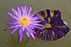 Macro photography showing a Purple Lotus Flower. Macro photography showing a close up view of beauty flora and fauna Stock Photography