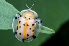 Macro photography showing a transperant yellow lady bird Royalty Free Stock Photo