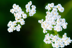 Macro photography of small white blossoms. Of flower on smooth green background Royalty Free Stock Images