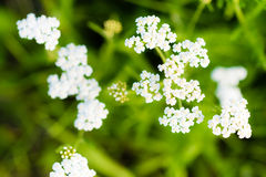 Macro photography of small white blossoms. Of flower on smooth green background Royalty Free Stock Photos
