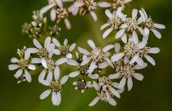 Macro photography of small white wildflowers royalty free stock photos