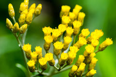 Macro photography of small yellow flowers. Taken on summer. Shallow dept of field, blurry green background Stock Photo