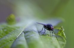 Macro photography of a stable fly on a green leaf royalty free stock images