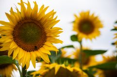 Macro Photography of Sunflower Stock Images