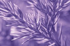 Macro photography of sunlit Ultraviolet spruce tree. Ultra Violet Trendy Color of the year 2018 Royalty Free Stock Images