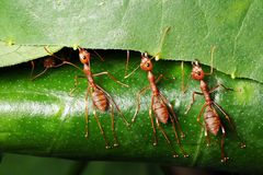 Macro photography of three red ants trying to pull the leaf to make their home stock image